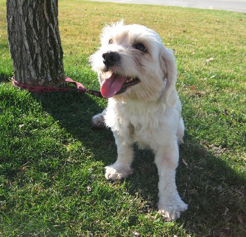 Levi - Cocker Spaniel  Humane Society Of Dallas County-3288