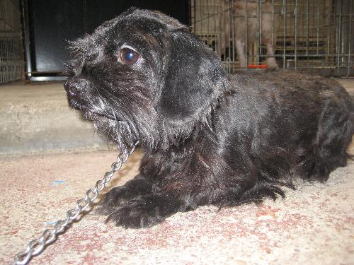 Denim - Cocker Spaniel  Humane Society Of Dallas County-9647