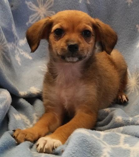 Dodge Chihuahua Humane Society Of Dallas County
