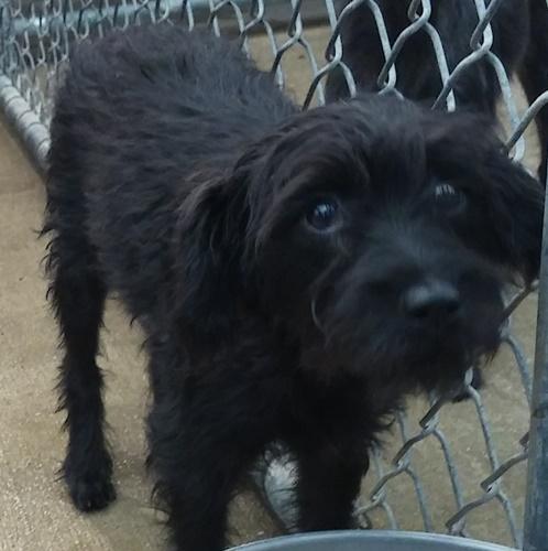Karen Terrier Humane Society Of Dallas County