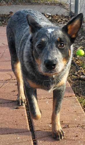 Australian Cattle Dog (Blue Heeler) Breed Info: Facts