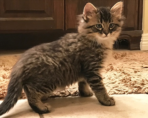Anakin Maine Coon Humane Society Of Dallas County