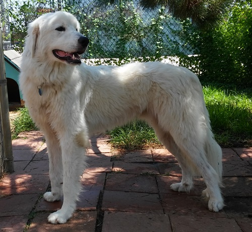 Cotton Great Pyrenees Humane Society Of Dallas County