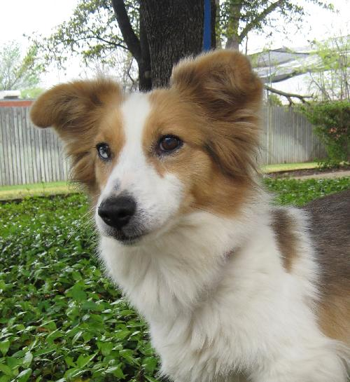 Maisie Corgi Humane Society Of Dallas County