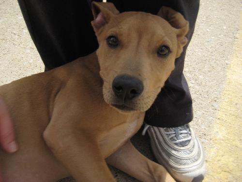 Juniper - Labrador Retriever | Humane Society of Dallas County