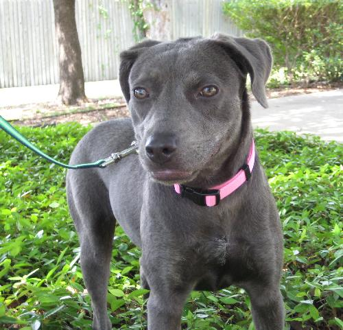 labrador retriever terrier mix calypso labrador retriever humane society of dallas county 8719