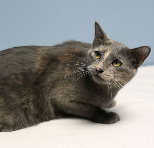 Pansy Dilute Tortoiseshell Humane Society Of Dallas County
