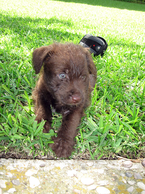 german wirehaired terrier teddy terrier humane society of dallas county 6371