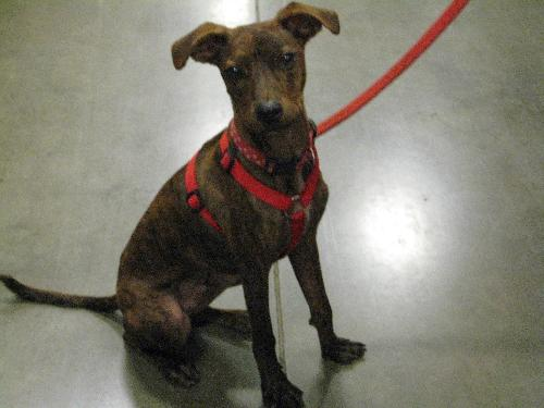 Flash - Whippet | Humane Society of Dallas County