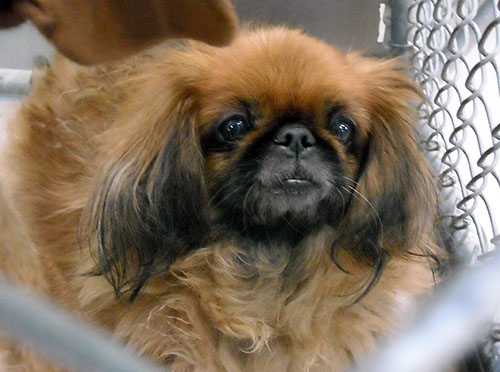 Winnie Pekingese Humane Society Of Dallas County