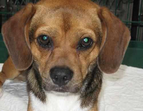 Audie Beagle Humane Society Of Dallas County