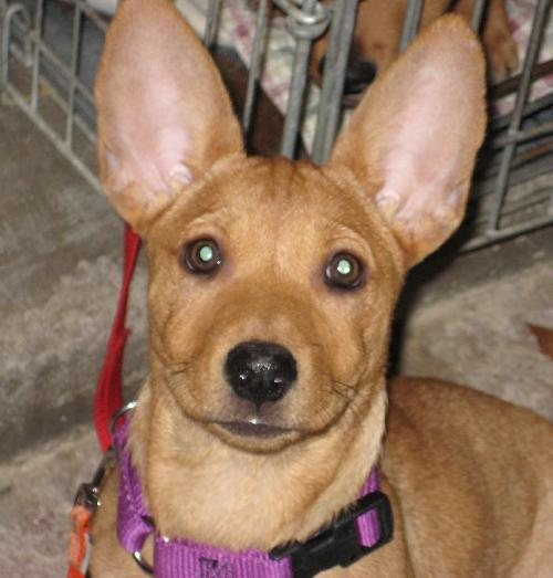 Basenji Pug Mix Pictures | Dog Breeds Picture