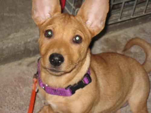 Cher Corgi Humane Society Of Dallas County