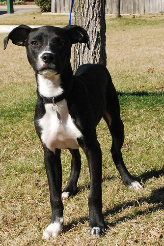Sawyer Whippet Humane Society Of Dallas County