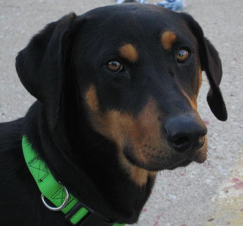 Harvey - Black and Tan Coonhound | Humane Society of ...
