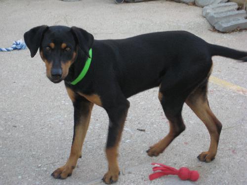 Harvey - Black and Tan Coonhound | Humane Society of Dallas County