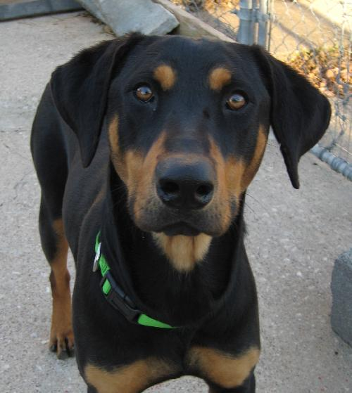 Bluetick Coonhound Info Temperament Puppies Mix Pictures