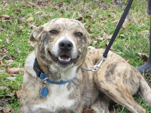 ... - Australian Cattle Dog/Blue Heeler / Catahoula Leopard Dog [Mix