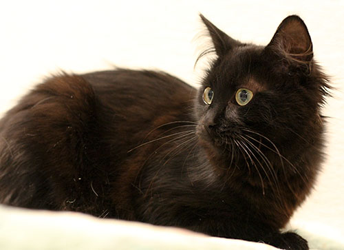 Rayanne Maine Coon Humane Society Of Dallas County