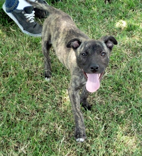 Bogie - Whippet   Humane Society of Dallas County