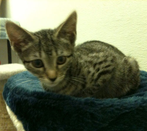 Candy Ocicat Humane Society Of Dallas County