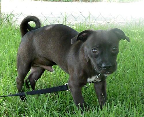 Pug Dachshund Mix | Dog Breeds Picture