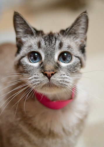 Giselle Siamese Humane Society Of Dallas County