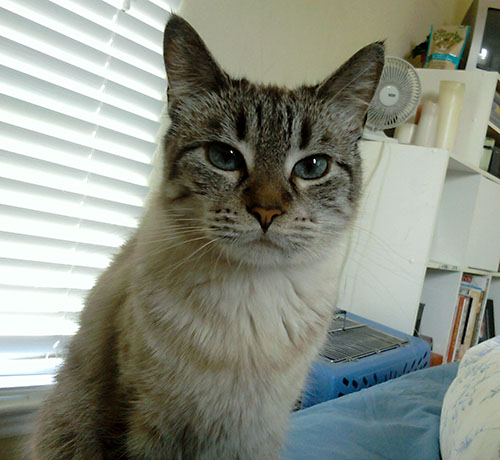 What does a Siamese and tabby mix look like? - Quora