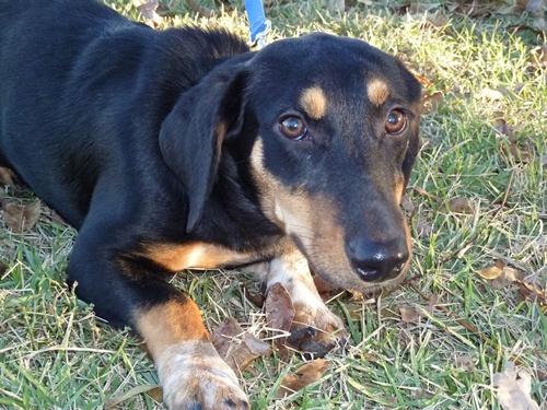 marsala basset hound humane society of dallas county