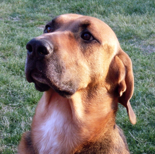 Buddy - Bloodhound | Humane Society of Dallas County