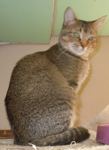 Abyssinian Mix Anisa - Abyssinian | H...