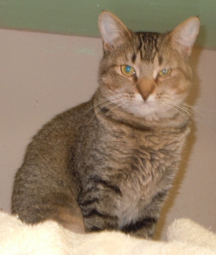 Abyssinian Mix Anisa - Abyssinian  Mix