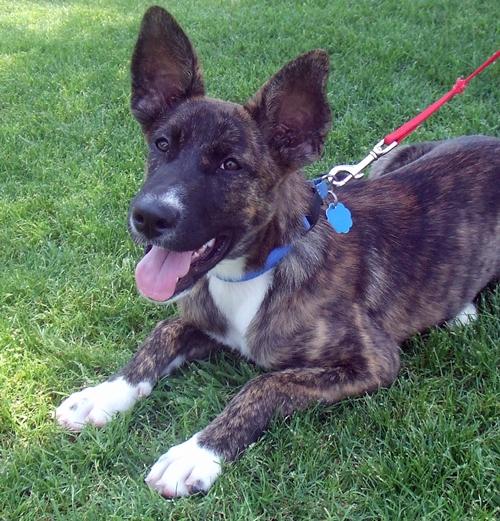 Sage Dutch Shepherd Humane Society Of Dallas County