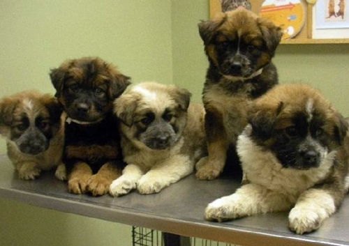 Husky St Bernard Mix Puppies S271a3487547m8549552.jpg