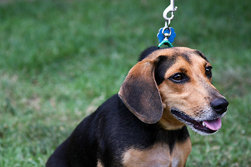 Lucy - Dachshund | Humane Society of Dallas County