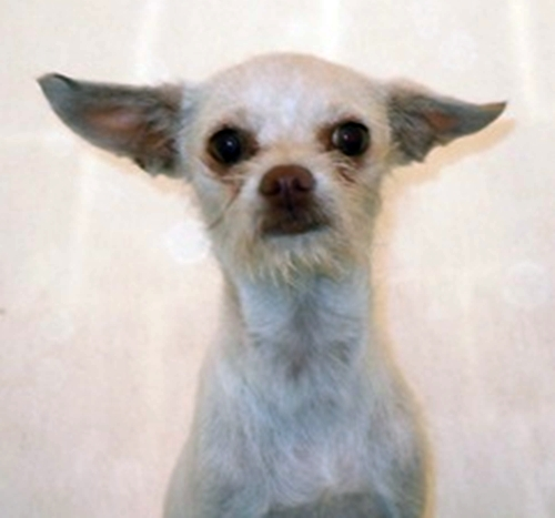 Taco Terrier Pictures and Photos, Chihuahua Toy Fox Terrier Hybrid ...