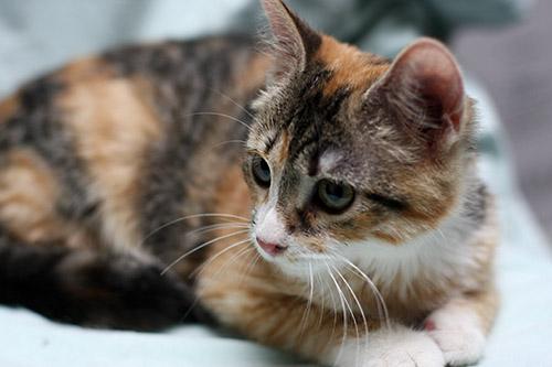 Iris Cats In Need Kittens