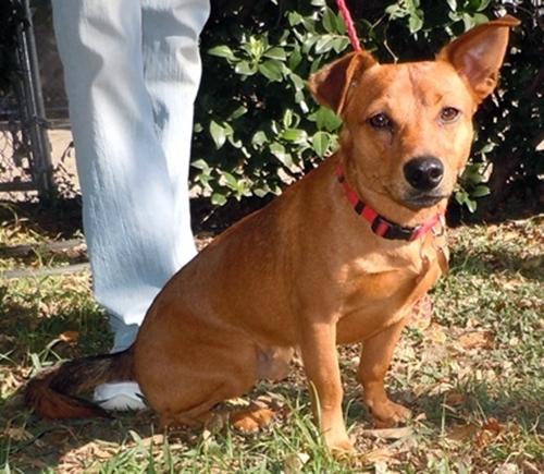 Ready For Adoption German Shepherd Dog Doberman Pinscher Mixed   Dog ...