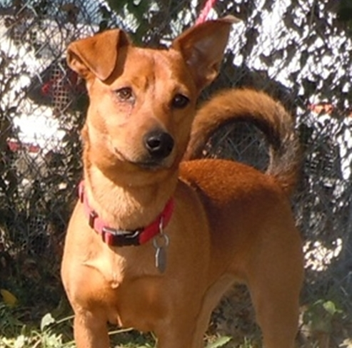 Paco - Basenji | Humane Society of Dallas County