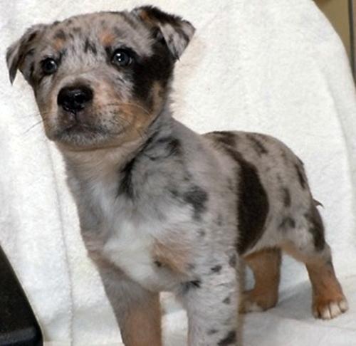 Sidney Australian Shepherd Humane Society Of Dallas County