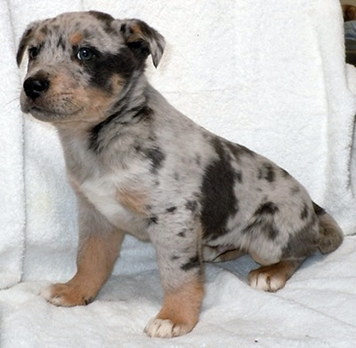 Cattle Dogs As Pets