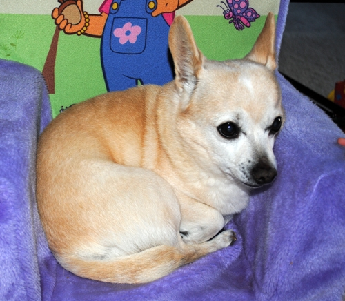 Dodger - Chihuahua | Humane Society of Dallas County