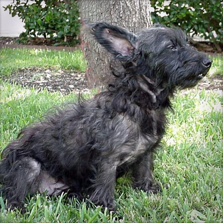 Cairn Terrier Mix