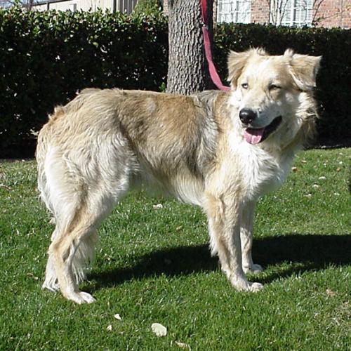 Torino - Golden Retriever | Humane Society of Dallas County