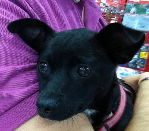 Black Chiwawa Mix Josefina - dachshund humane society of dallas county