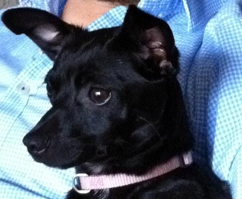 Josefina - Dachshund | Humane Society of Dallas County
