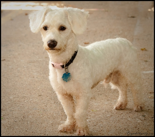 Beau Bichon Frise Humane Society Of Dallas County