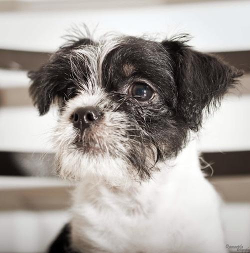 Huey Shih Tzu Humane Society Of Dallas County