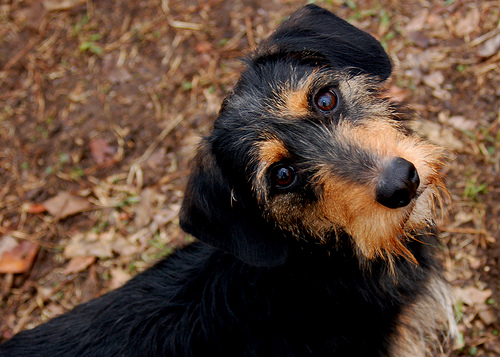 Go Back > Gallery For > Wire Haired Dachshund Terrier Mix