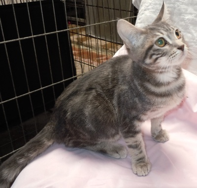 Marble Tabby Humane Society Of Dallas County
